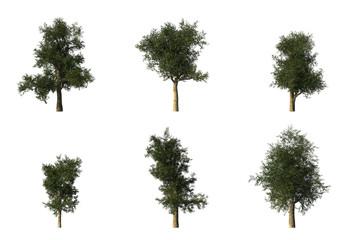 Platanus Tree CG