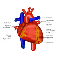 coronary arteries heart anatomy illustration