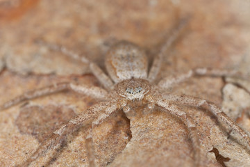 Hunting spider on wood, macro photo