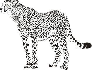 cheetah - black and white vector illustration