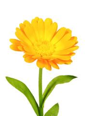 One orange flower of calendula