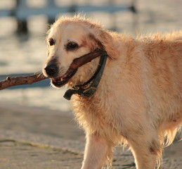 Labrador retriever holding a piece of log