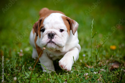 English Bulldog A Gift Journal for People who Love Dogs