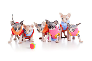 Papier Peint - Six funny hairless kittens with ball brood of Canadian sphynx