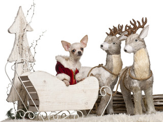 Chihuahua, 7 months old, in Christmas sleigh in front of white
