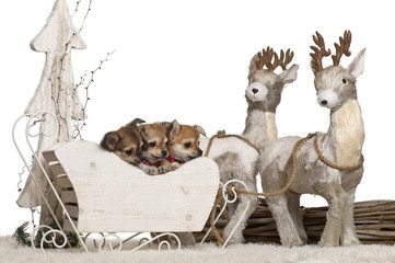 Chihuahua puppies, 2 months old, in Christmas sleigh