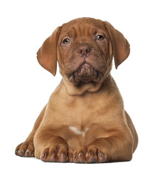 Dogue de Bordeaux puppy, 8 weeks old, lying in front of white