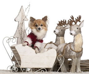 Chihuahua, 5 years old, in Christmas sleigh in front of white
