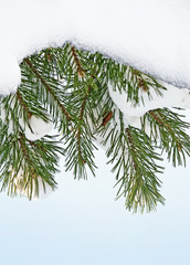 pine and snow - winter background