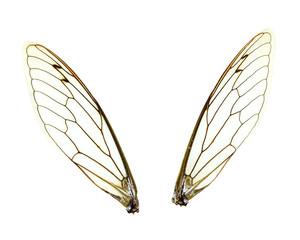 Isolated Cicada (Jar FLy) Wings