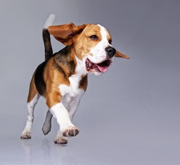 Beagle puppy isolated on grey background