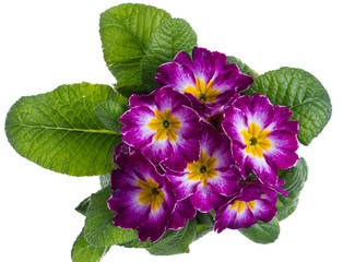 Papiers peints Pansies purple and white primrose isolated on white