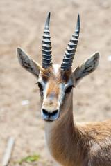 Photo sur Aluminium Antilope Gazelle in safari