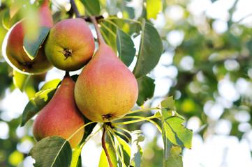 Pear tree.