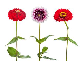 Three flowers isolated on white background. Zinnia and Dahlia