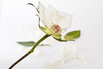 Withered white rose with fallen petals