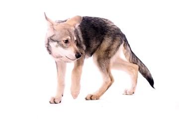 ängstlicher Wolfshund Junghund