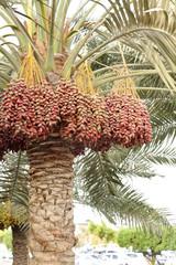 Red kimri dates