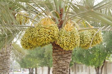 Dense kimri dates clusters