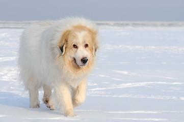 Wall Mural - Laufender Hund im Schnee