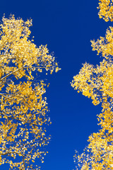 Yellow Aspen Leaves On Blue Sky