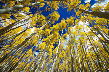 Tuinposter Aan het plafond Surrounded by a Forest of Tall Golden Aspen Trees