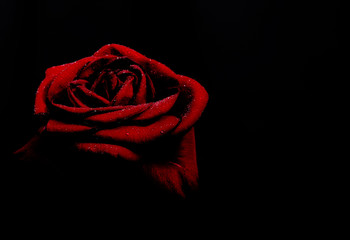Red rose on black background