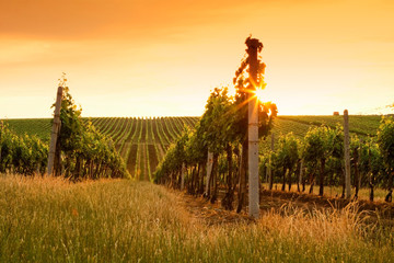 Papiers peints Vignoble Evening view of the vineyards
