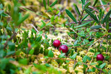 Wild cranberries growing in bog, autumn harvesting