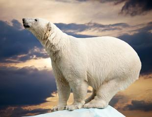 Wall Mural - polar bear