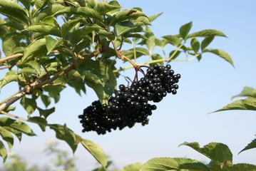 Schwarzer Holunder am Baum