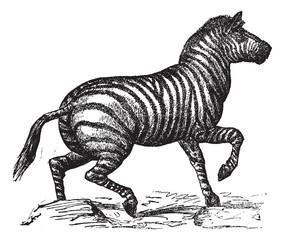Grant's Zebra or Equus quagga boehmi vintage engraving