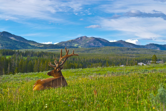 Male elk with large antlers