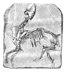Skeleton of the great Paleotherium de Vitry, vintage engraving.