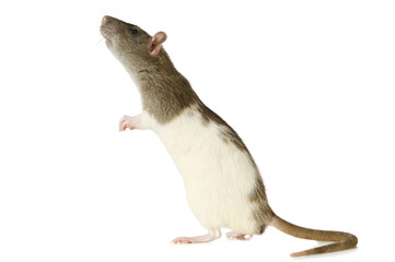 Courious rat on a white background.