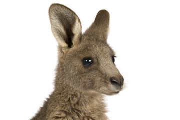 Photo sur Plexiglas Kangaroo Eastern Grey joey kangaroo on a white background.
