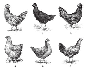 Hens, 1. Houdan chicken. 2. Hen the Arrow. 3. Hen Crevecoeur. 4.
