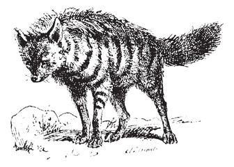 Aardwolf or Proteles cristata, vintage engraving.