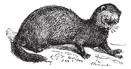 Polecat, vintage engraving.