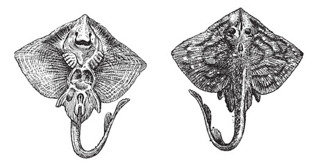 Thornback ray or Raja clavata vintage engraving