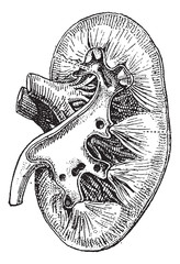 The human kidney, vintage engraving.