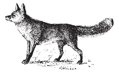Fox, vintage engraving.