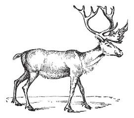 Reindeer, vintage engraving.