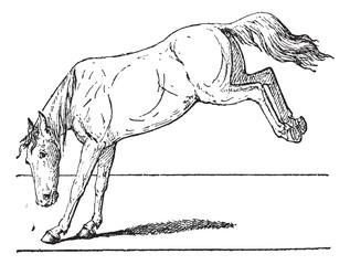 Horse kick, vintage engraving.