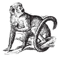 Squirrel monkey or Saimiri, vintage engraving.