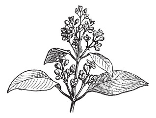 Sandalwood leaves and buds, vintage engraving.