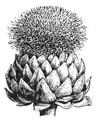 Fig.17.  Atichoke or Globe Artichoke, vintage engraving.