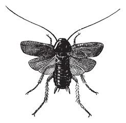 Fig 83. Cockroach, vintage engraving.