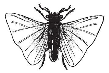 Fig 7. Stylops Orthoptera, vintage engraving.