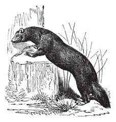 European polecat (Mustela putorius) or black polecat, vintage en